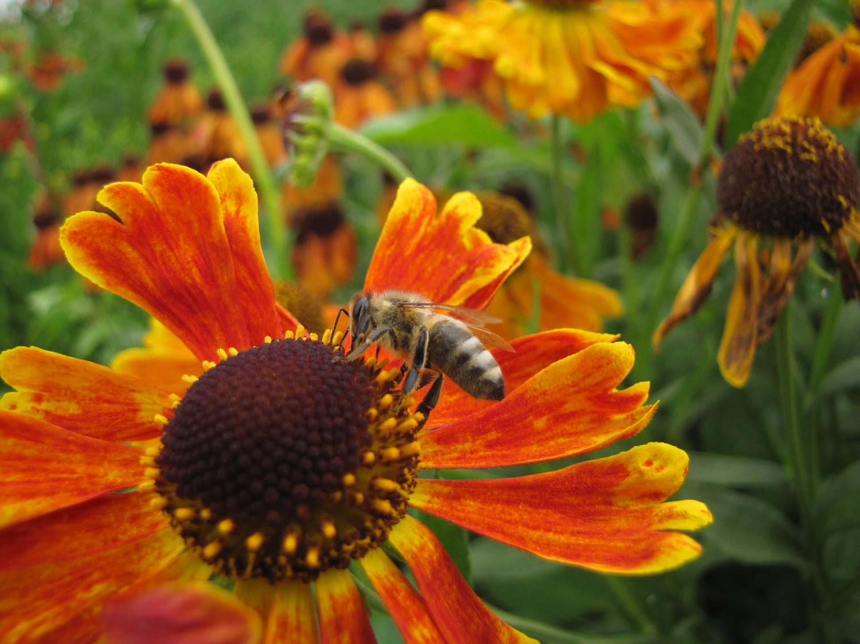 plante qui attire les abeilles 13 le caryopteris donne des petites fleurs du bleu le plus. Black Bedroom Furniture Sets. Home Design Ideas