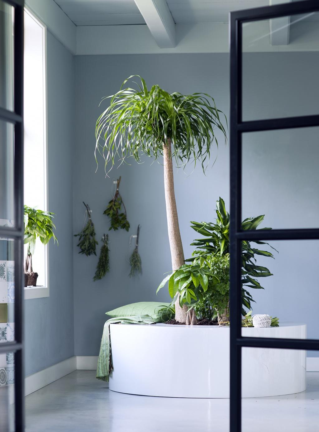 les plantes totems sont les plantes du mois de janvier 2016 ma plante mon bonheur. Black Bedroom Furniture Sets. Home Design Ideas