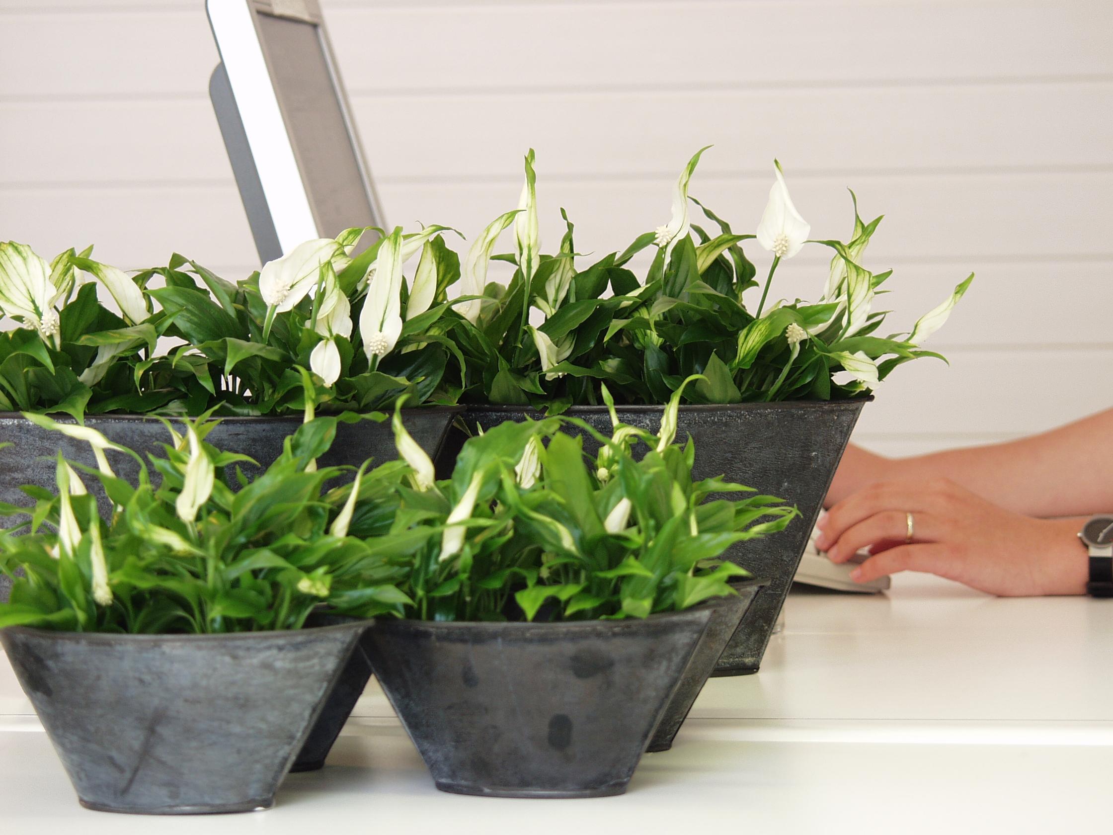 Les effets positifs des plantes sur le lieu de travail for Entretien jacinthe interieur