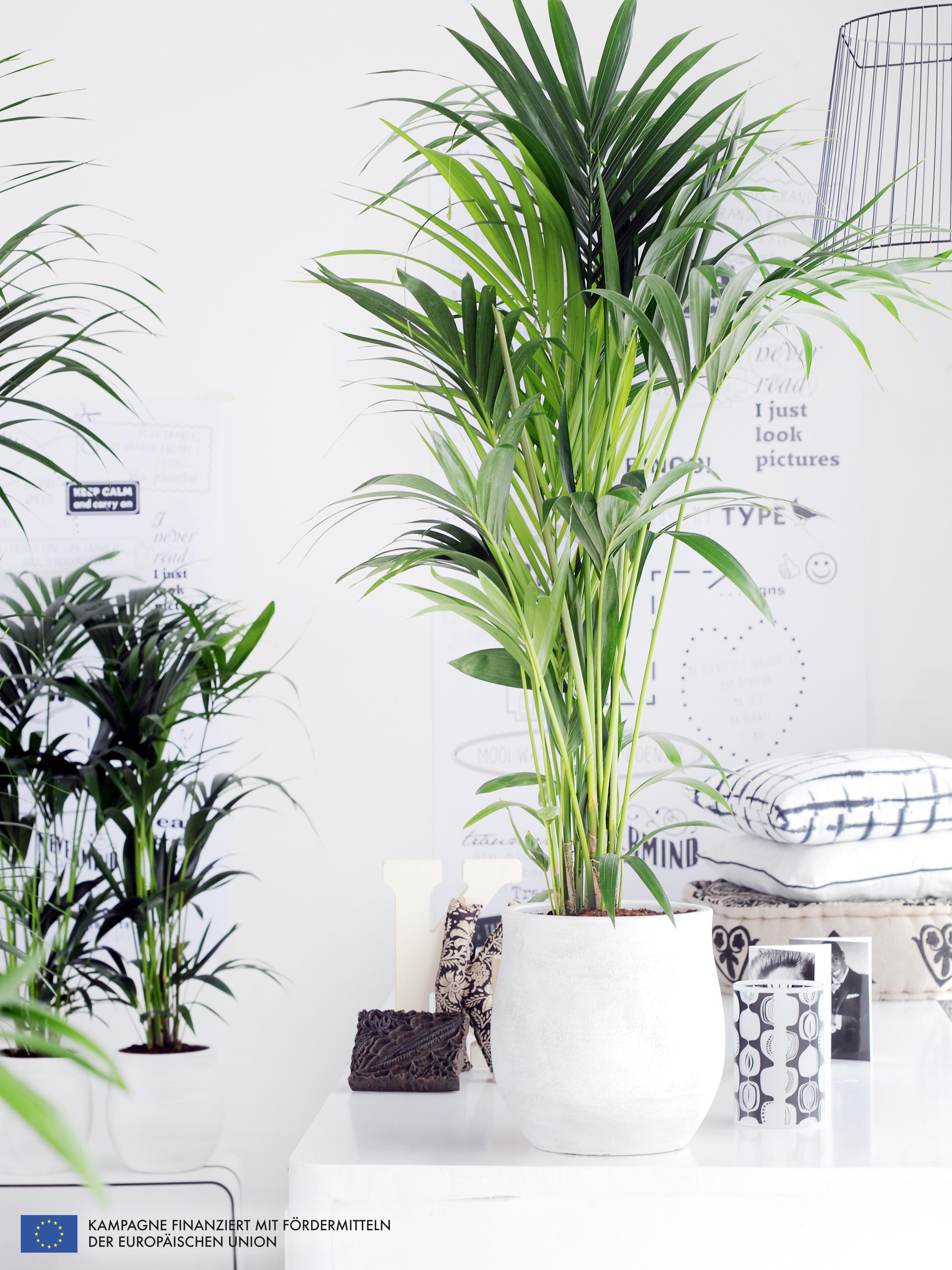 a chaque mois sa plante janvier le kentia ma plante mon bonheur. Black Bedroom Furniture Sets. Home Design Ideas