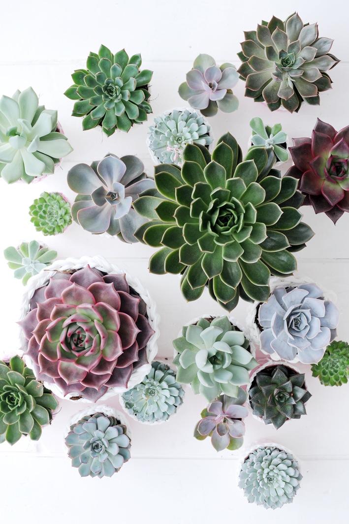 L 39 echeveria ma plante mon bonheur - Cactus porte bonheur ...