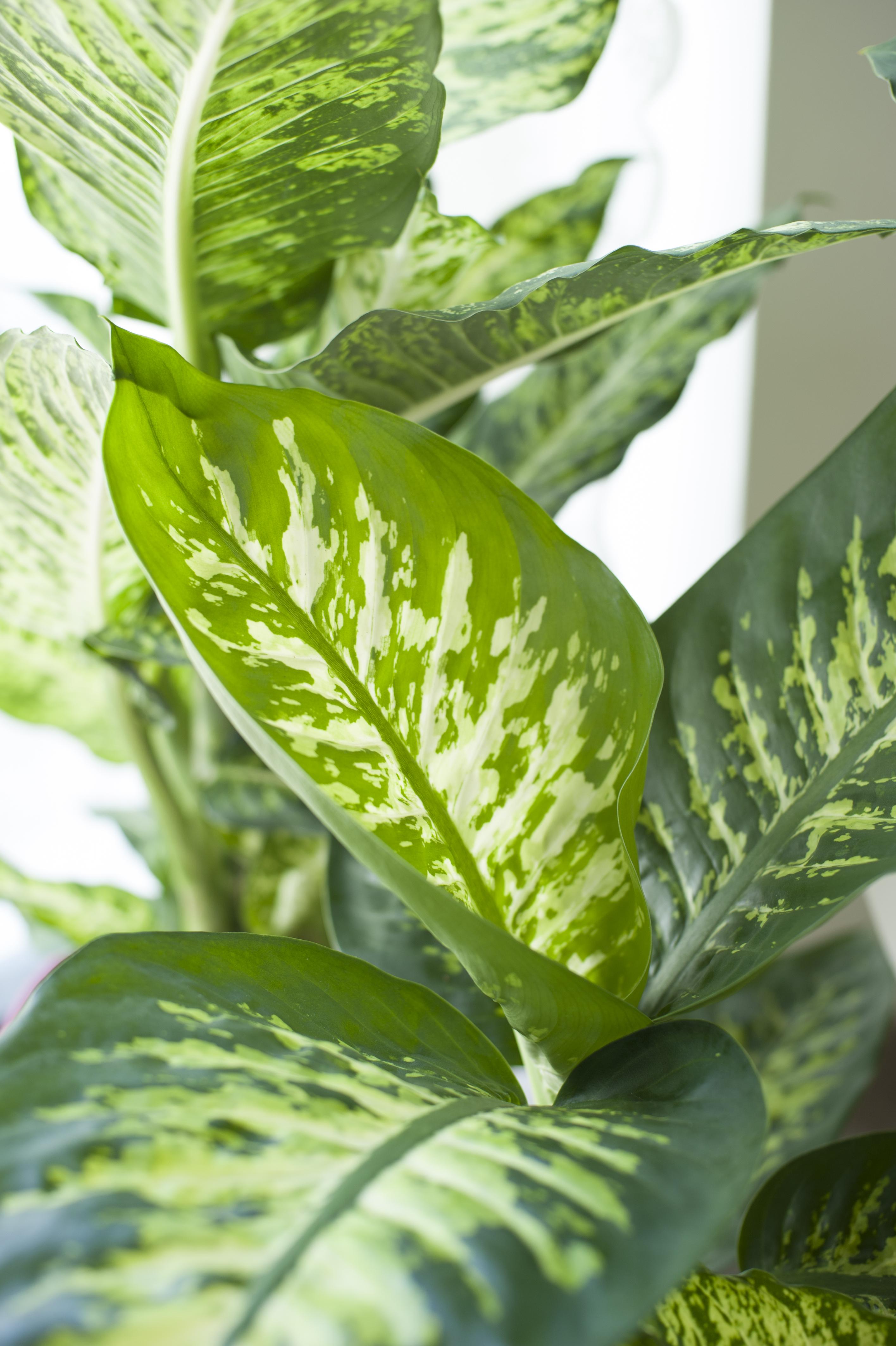 Le dieffenbachia comme source d inspiration in puisable ma plante mon bonheur - Cactus porte bonheur ...