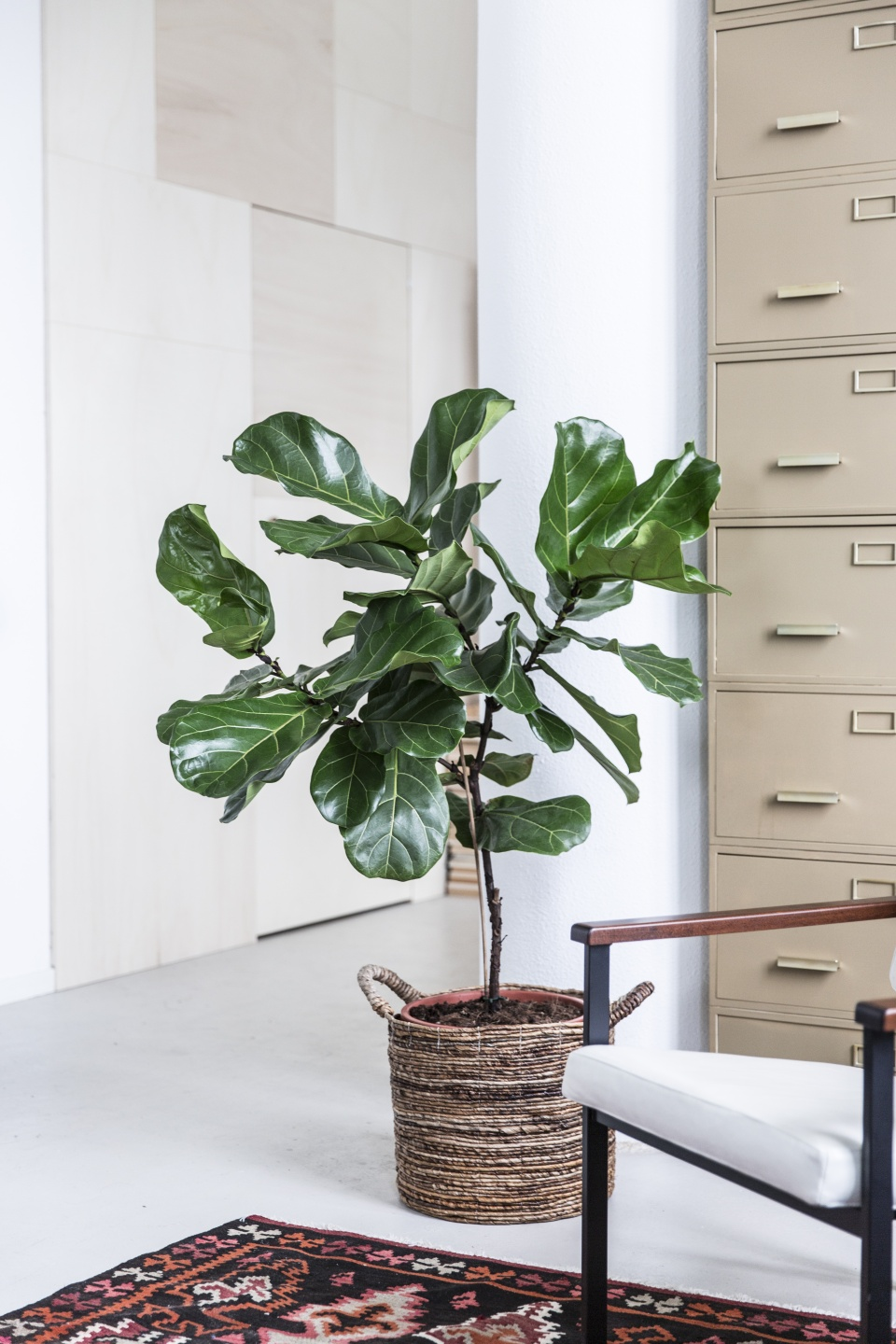 le ficus lyrata ma plante mon bonheur. Black Bedroom Furniture Sets. Home Design Ideas