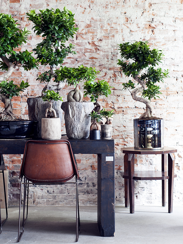 les multiples visages du ficus ginseng ma plante mon bonheur. Black Bedroom Furniture Sets. Home Design Ideas