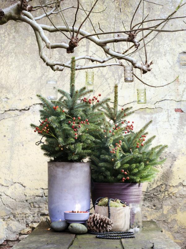 L 39 pic a est la plante de jardin de d cembre ma plante for Site de vente de plantes