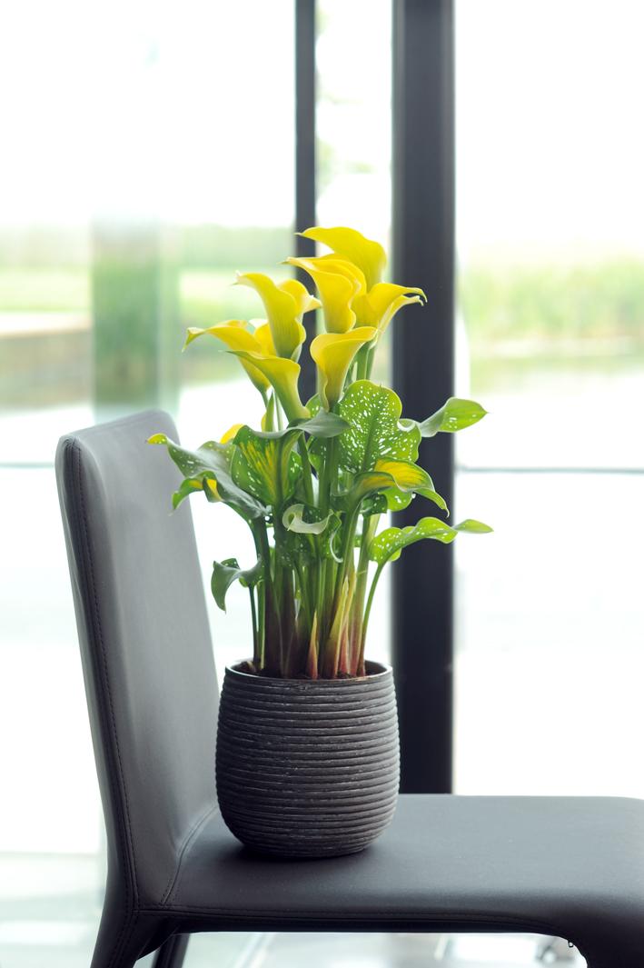 Les soins pour votre calla ma plante mon bonheur for Entretien jacinthe interieur