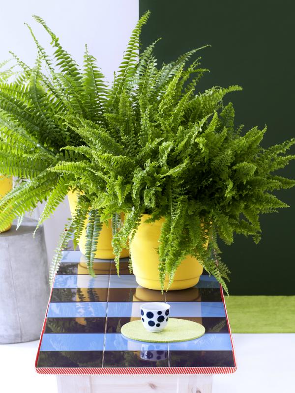 Les plantes g n ration oxyg ne sont les plantes d for Entretien jacinthe interieur