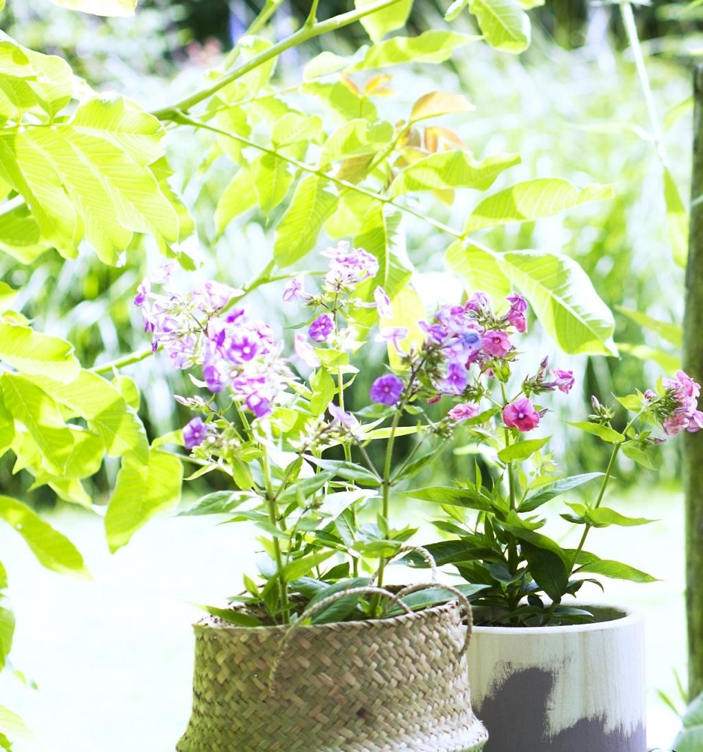 Le phlox panicul ma plante mon bonheur - Entretien aloe vera interieur ...