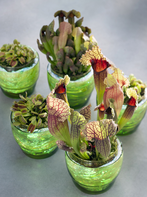 Les plantes carnivores a chaque mois sa plante septembre Cactus porte bonheur