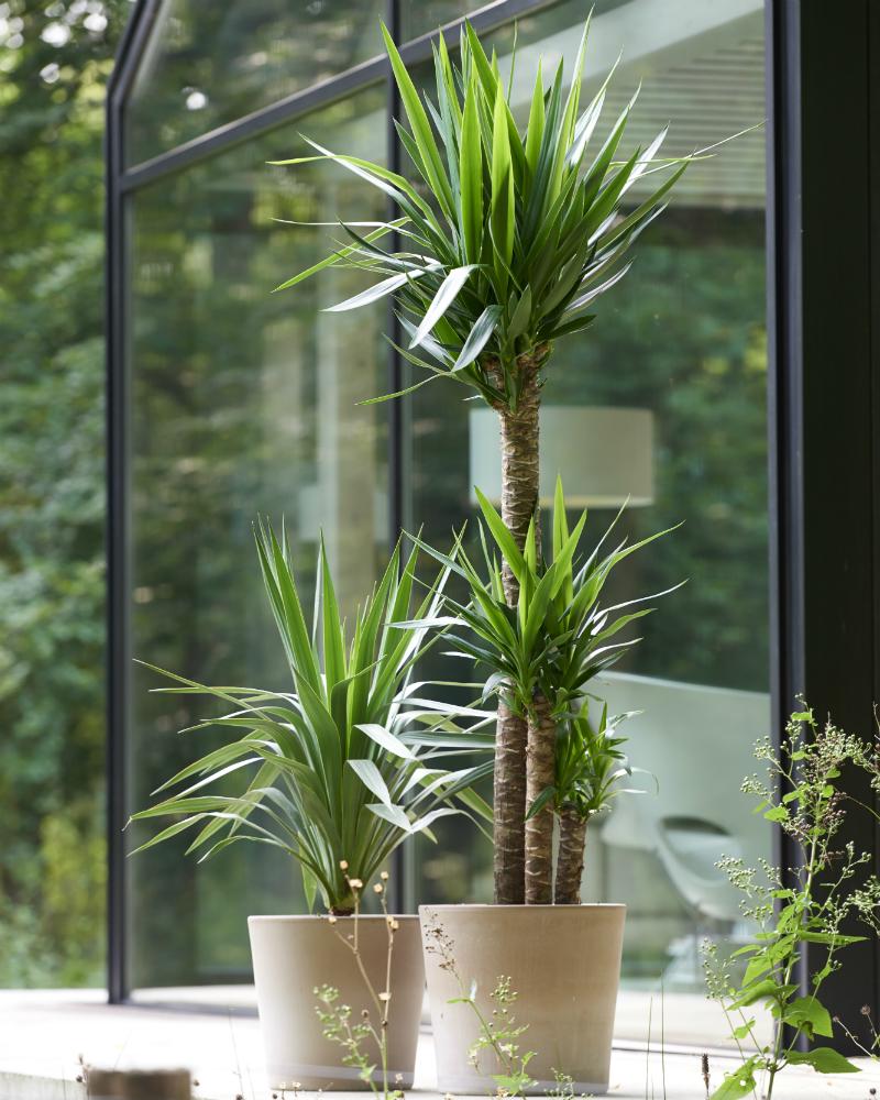 Le yucca ma plante mon bonheur for Plante yucca chat