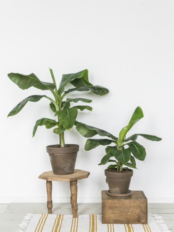 Le bananier | Ma plante mon bonheur