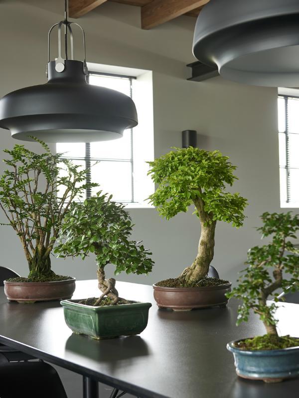 Le bonsai Maplantemonbonheur.fr
