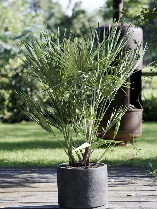 Le palmier nain maplantemonbonheur.fr