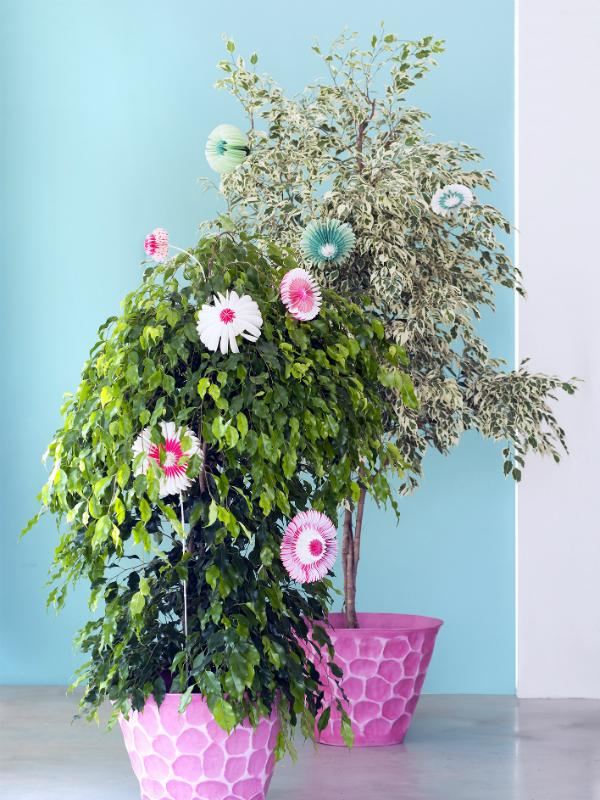 Ficus benjamina - Maplantemonbonheur.fr