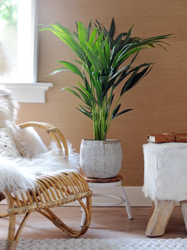 Kentia Palm Maplantemonbonheur.fr