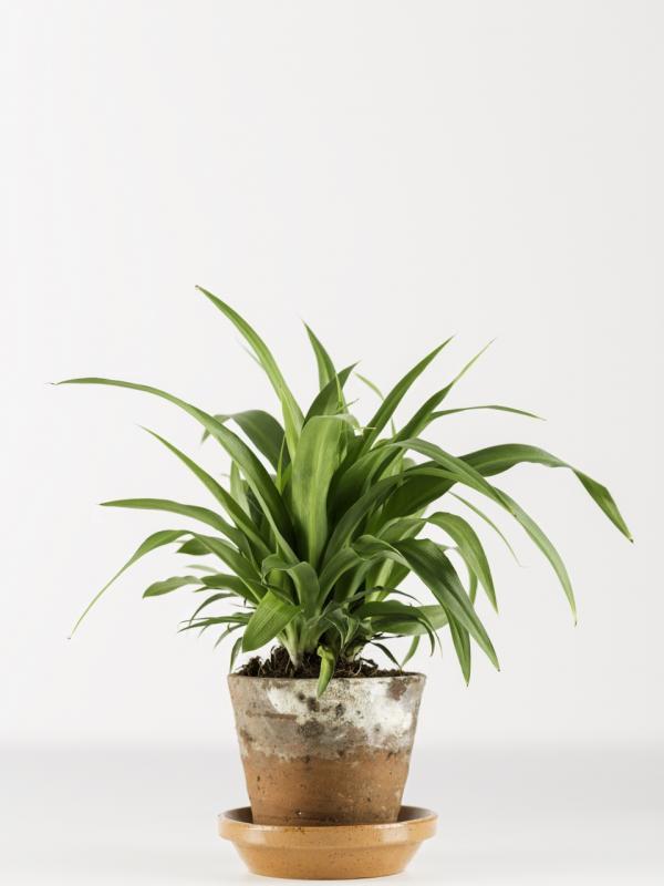 Chlorophytum - Maplantemonbonheur.fr