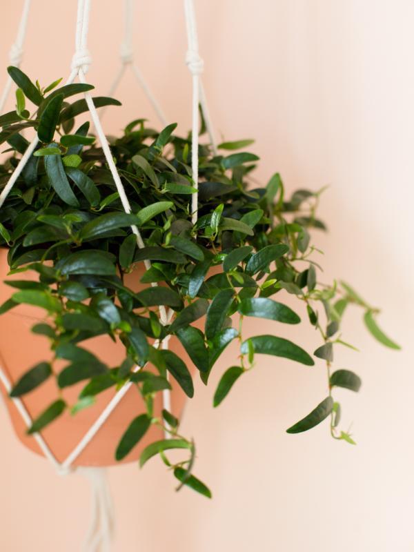 Ficus Anouk Maplantemonbonheur.fr