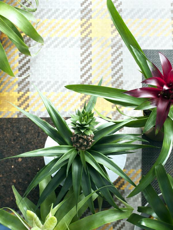 Ananas Maplantemonbonheur.fr
