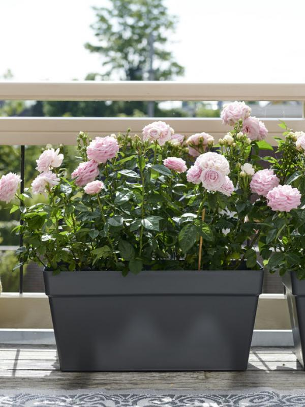 La rose de jardin Maplantemonbonheur.fr