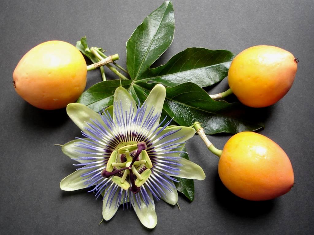 Passionnante passiflore ma plante mon bonheur - Passiflore fruit de la passion ...